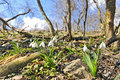 Free White Snowdrops In An Forest Stock Photos - 16869233