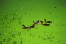 Free Green Algae In The Duck Royalty Free Stock Images - 16860059