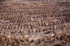 Free Rice Fields After Harvest Royalty Free Stock Photography - 16862247