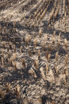 Free Burning Of Rice Fields After Harves Royalty Free Stock Photography - 16862307
