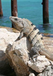 Free Iguana Sunning On Rock Royalty Free Stock Image - 16862516