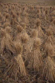 Free Rice Straw Stock Photo - 16862730