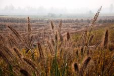 Free Setaria And Rice Fields Royalty Free Stock Image - 16862746