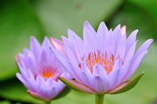 Free A Pair Of Purple Lotus Stock Photos - 16864183