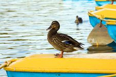 Free Having A Rest Ducks Stock Images - 16864454