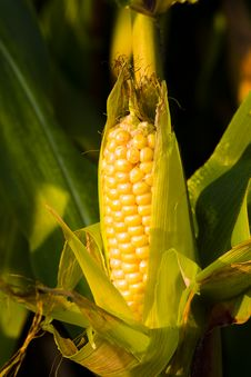 Free Corn Stock Image - 16864521