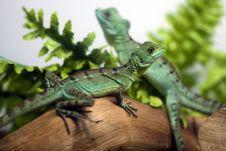 Free Two Lizards Stock Photo - 16864930