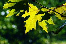 Free Autumn, Maple Leaves Royalty Free Stock Photos - 16867098