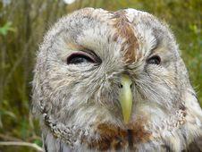 Free Tawny Owl Royalty Free Stock Photo - 16868865