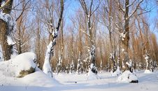 Free Winter Forest Stock Image - 16869241