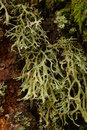 Free Lichen Royalty Free Stock Images - 16872619
