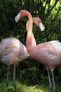 Free Two Pink Flamingos Royalty Free Stock Photography - 16878317
