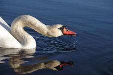 Free Swan Drinking. Stock Photo - 16870320
