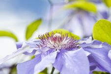 Clematis Blue  Flower Stock Photos