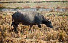 Free Buffalo Stock Images - 16871454