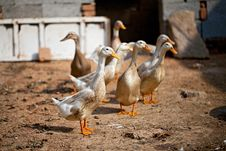 Free Poultry Stock Photography - 16871642
