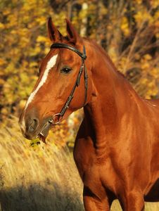 Free Portrait Of The Chestnut Horse Stock Photos - 16873603