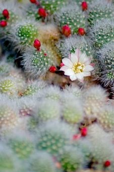 Free Blooming Cactus Royalty Free Stock Images - 16874969