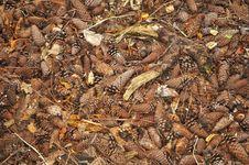 Free Pine Cones Stock Images - 16875694