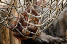 Free Orangutan Eating A Snack Stock Photos - 16876443