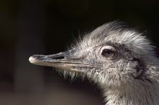 Free Ostrich Head Royalty Free Stock Photos - 16878058