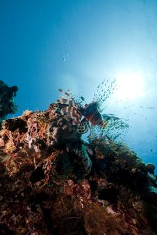 Lionfish In The Red Sea. Royalty Free Stock Photos