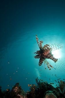 Lionfish In The Red Sea. Royalty Free Stock Images