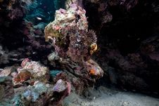 Free Smallscale Scorpionfish In The Red Sea. Royalty Free Stock Photo - 16878765