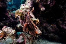 Free Smallscale Scorpionfish In The Red Sea. Royalty Free Stock Photography - 16878787