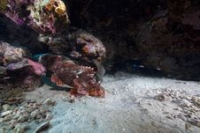 Free Smallscale Scorpionfish In The Red Sea. Stock Photography - 16878812