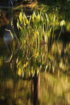 Free Lotus Plant Royalty Free Stock Image - 16879456