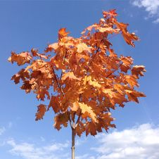 Maple With Red Leaves, A Blue Sky Stock Photography