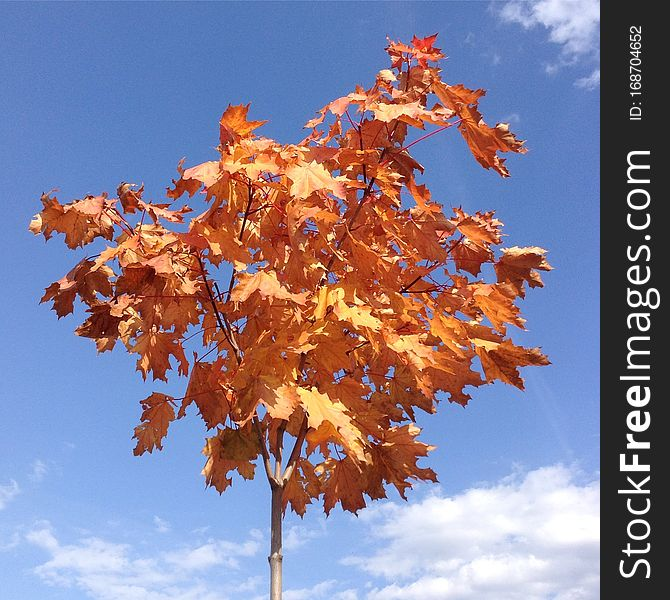 Maple with red leaves, a blue sky