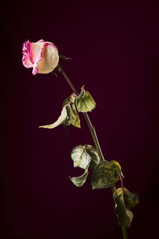 Free Withered Rose. Sadness Stock Photo - 16880120