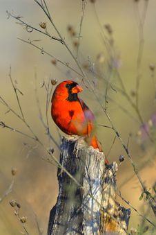 Free Cardinal Royalty Free Stock Image - 16880146