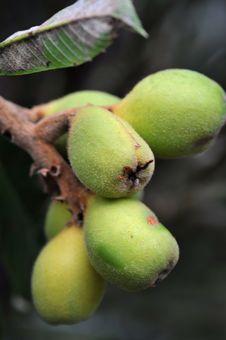 Free Loquat On Tree Royalty Free Stock Photo - 16881265