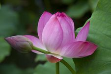 Free Lotus Pool Royalty Free Stock Photos - 16881698