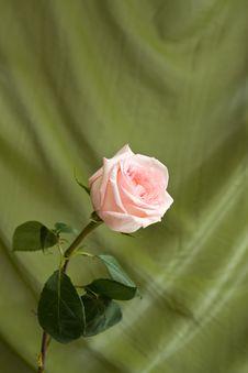 Free Pink Rose Stock Photo - 16882070