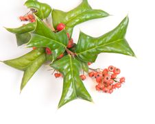 Free European Holly Stock Photography - 16882492