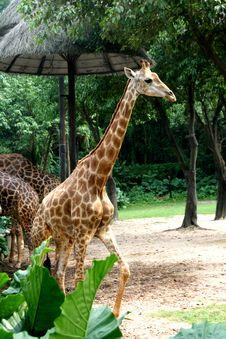 Free Giraffe Stock Images - 16883044