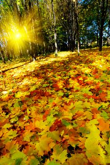 Free Beautiful Golden Autumn In The Forest. Royalty Free Stock Image - 16883576