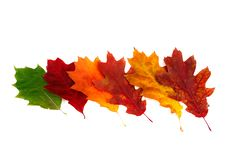 Splendid Colorful Leaves On A White. Stock Photos