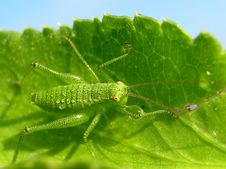 Free Grasshopper Stock Photos - 16884493