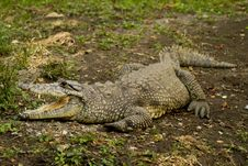 Free Crocodile Open Mouth Royalty Free Stock Images - 16884609