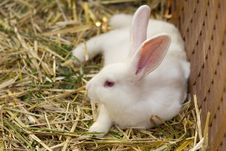 Free White Bunny Stock Images - 16884674