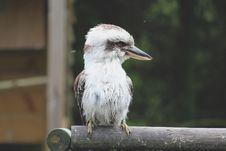 Free Kookaburra Royalty Free Stock Images - 16886419