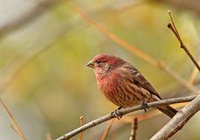 Free Male House Finch, Carpodacus Mexicanus Stock Photos - 16889393