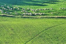 Free Sheep Grazing Royalty Free Stock Images - 16889499