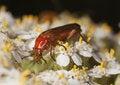 Free Common Red Soldier Beetle (Rhagonycha Fulva) Stock Photos - 16895143