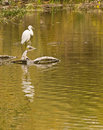 Free Snowy Heron Royalty Free Stock Photos - 16898248